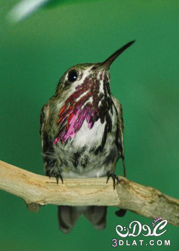 طيور بالوان غريبه , صور طيور مختلفه , صور طيور متنوعه , احلى طيور ممكن تشوفها , صور 3dlat.net_15_15_e2aa