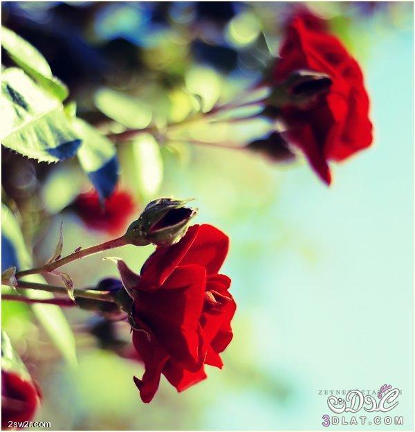 صور ورد طبيعى صور الورد الطبيعى 2015 صور من الطبيعه صور الورد فى الطبيعه غايه الجمال 3dlat.net_15_15_fcac