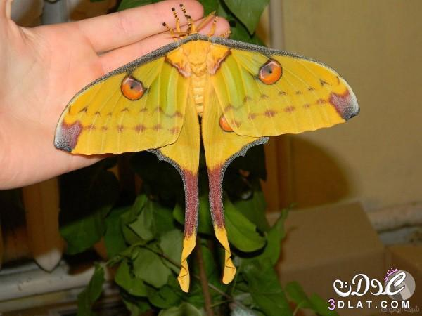 الفراشة المذنبة بالصور معلومات فراشة مدغشقر,الفراشة 3dlat.net_21_15_8e90