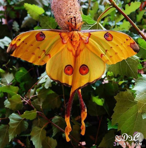 الفراشة المذنبة بالصور معلومات فراشة مدغشقر,الفراشة 3dlat.net_21_15_afe1