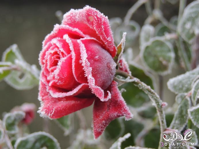 صور ورود أزهار ورد rose fleurs 3dlat.net_23_15_b819