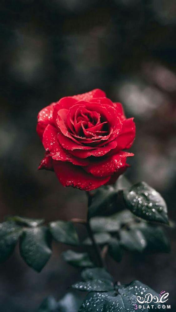 صور ورد أحمر زهور حمراء حلوة جدا لون أحمر 1a8ff8d Barbucrypto Com