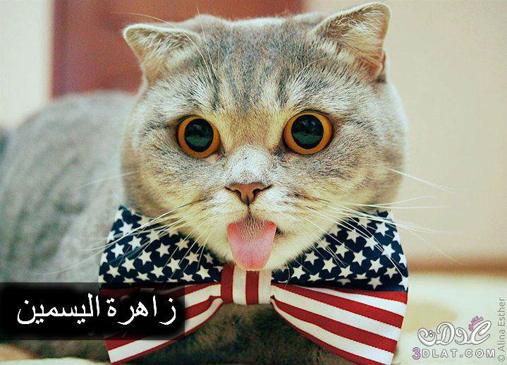 صور كوميدية لقط اعتاد أن يخرج لسانه من فمه